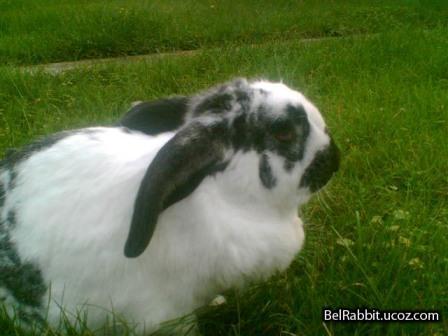 Все породы кроликов